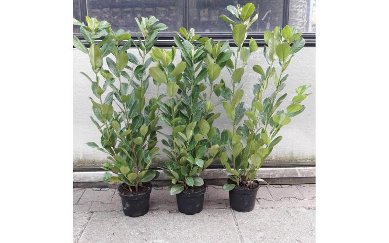 Prunus lau. 'Rotundifolia' 60-80