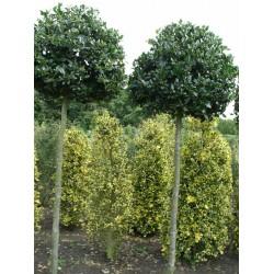 Ilex Aquifolium 'JC van Tol'