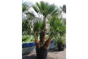 Palmen en kuipplanten