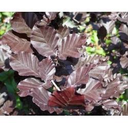 Fagus Sylv. 'Dawyck Purple'