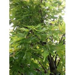 Acer Palmatum 'Sangokusa'