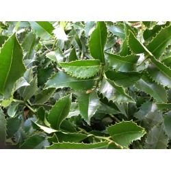 Ilex Koheniana 'Castaneifolia'