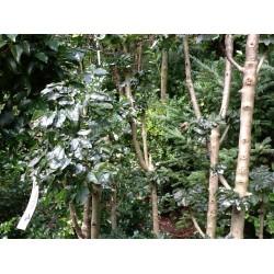 Fraxinus Crispofolia