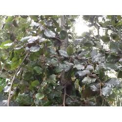 Fagus Syl. 'Purple Pendula'