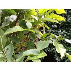 Magnolia Liliflora 'Betty'