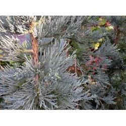 Sequiadendron Gigantheum 'Glaucum'
