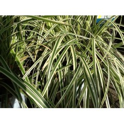 Carex Morrowii 'Aureovariegata'